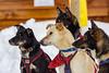 Watching (begineerphotos) Tags: alaskanhusky alberta dog husky sleddog beginnerdigitalphotographychallengewinner