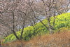Spring Color (seiji2012) Tags: 河津桜 松田市 まつだ桜まつり 神奈川県 菜の花 cherry blossom rapeseed matuda kanagawa