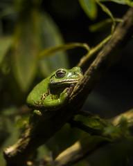 09715 (PhillipsVonNoog) Tags: animal animals tennessee aquarium wildlife barking tree frog hyla gratiosa frogs amphibian amphibians