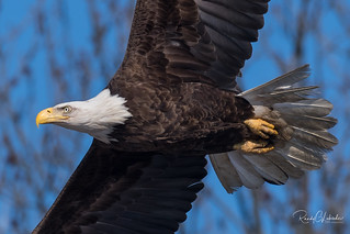 Bald Eagles of the Jersey Shore | 2018 - 29