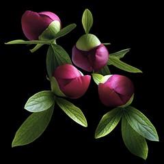 Peony Buds (Pixel Fusion) Tags: peony flower flora nature macro nikon d600