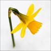 Winter or spring... (kimbenson45) Tags: closeup daffodil differentialfocus flower green macro nature outdoors petals plant shallowdepthoffield snow spring white winter yellow flowerscolors