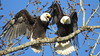 Good Morning Mom and Dad! (shesnuckinfuts) Tags: americanbaldeagle baldeagle haliaeetusleucocephalus kentwa shesnuckinfuts march2018 eagle eagles nature wildlife raptor birdsofprey riverbendeagles