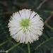 Leucaena leucocephala (Haole Koa)