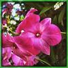 The pink. #Usbg #botanicgarden #goodgarden #dcgarden #nationalgarden #washingtondc #dc #dclife #downtown #iphone #iphone365 #iphone7plus #downtown #dclife  #nationalmall #nationalparks #iPhonemacro #macro  #flower #flowersofinstagram (Kindle Girl) Tags: iphone7plus nationalparks usbg botanicgarden goodgarden dcgarden nationalgarden washingtondc dc dclife downtown iphone iphone365 nationalmall iphonemacro macro flower flowersofinstagram