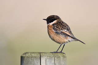 Stonechat Cley NWT z
