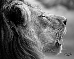 King Of The Jungle II (In Wonder Photo) Tags: portrait lion cat pantheraleo monochrome bw black white milwaukeecountyzoo nikon d850 markadsit
