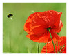 Poppys at the meadow. (Graham Pym) Tags: poppys bee insect flower flora meadow nikon backlit sunshine