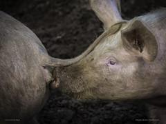 Yum Yum Pigs Bum (MAN1264) Tags: pig pork bum sniff animal farm