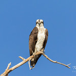 A very serious looking Osprey thumbnail