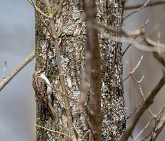 fiits right in (long.fanger) Tags: centreville virginia browncreeper utilityeasement