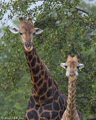 Me, with my dad (leendert3) Tags: leonmolenaar southafrica krugernationalpark wildlife nature giraffe mammals ngc npc coth coth5