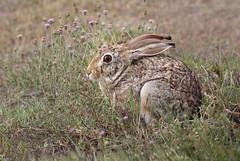 African Hare (ashockenberry) Tags: hare rabbit ears wildlife wildlifephotography nature naturephotography african cute hidden tanzania herbivore beautiful flowers ashleyhockenberryphotography ngorongoro crater national park savanna safari travel eco tourism canon shooter