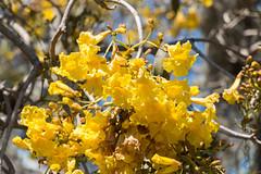 IMG_9908 (jaglazier) Tags: 2018 31518 deciduoustrees florida march marieselbybotanicalgardens museums sarasota trees usa copyright2018jamesaglazier floweringtrees gardens yellow