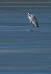 Volavka popelavá (ardea cinerea) na zamrzlém Bohdanečském rybníku / Grey heron on iced bound Bohdanec pond (Pavel Trhon) Tags: pták bird rybník volavka zima winter bohdaneč