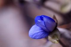 Nature in the city. 002 (George Ino) Tags: copyright georgeino georgeinohotmailcom thenetherlandshollandnederland utrecht naturenatuurnatur flower blue bleu blauw blau macro makro voorjaarspringfrühjahrprintempsprimavera depthoffield dofbokeh bloem cold koud