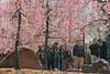 城南宮|京都 (KaguraYanki) Tags: canon650d 梅 梅花 梅花雨 枝垂梅 しだれ梅 椿まつり 城南宮 源氏物語 花見 花之庭 photography