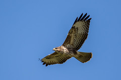 Buzzard (PINNACLE PHOTO) Tags: password buzzard bird buteobuteo meat common prey feather wingspan beakhookedbrown massive flying picture surrey guildford blue sky weather republic noise mating call naughty beast me martin billard canon 7d lens camera