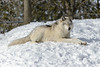 _D6X1623 (pxr57) Tags: sainteannedebellevue québec canada ca wolf nikon d600 eco zoo