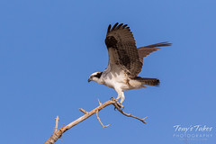 Male Osprey landing sequence - 18 of 28