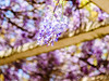 紫藤 (紅襪熊(・ᴥ・)) Tags: olympus omd em1 m43 micro43 microfourthirds olympusem1 pentacon av 2880 pentaconav2880 80mm f28 pentaconav80mm28 80mmf28 bokeh wistaria spring 春 花 藤 藤花 紫藤 春天 夢幻 紫 purple flower 陽明山