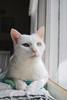 for his modeling portfolio (rootcrop54) Tags: charlie white allwhite male cat window backofsofaperch oddeyed oddeyes heterochromia neko macska kedi 猫 kočka kissa γάτα köttur kucing gatto 고양이 kaķis katė katt katze katzen kot кошка mačka gatos maček kitteh chat ネコ
