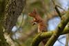 Red Squirrel - Explore`d 25 March 2018 (jon lees) Tags: redsquirrel mount stewart northernireland newtownards nationaltrust mammal