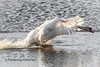 Landing (Flemming Andersen) Tags: water white outdoor landing bird swan nature