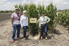 Lanzamiento variedad de maíz biofortificado con zinc BIOMzn01