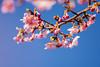 IMGL0719 (GARNETSKY2006) Tags: 180304sakura 5d3 sakura cherryblossom 50mmf12