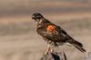 "Marked ""UJ"" Hawk (MelRoseJ) Tags: dorris california unitedstates us a77ii alpha autofocus sonyalpha sony sonyilca77m2 sal70200g lowerklamath nature birds hawk"