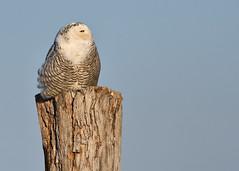 DSC_9608_edit (Hanzy2012) Tags: toronto ontario canada lesliestreetspit tommythompsonpark d500 afsnikkor500mmf4difedii bird wildlife snowyowl buboscandiacus nature wild