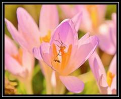 """Flora Detritus..."" -- MACRO MONDAYS - 12.3.18 - ""Imperfection"" (NikonShutterBug1) Tags: macro closeup nikond7100 tamron18400mm nature spe smartphotoeditor bokeh macromondays imperfection flower pink 7dwf"