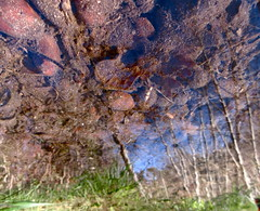 Tops at the Bottom (andressolo) Tags: reflections reflection reflected reflect reflejo reflejos water puddle pond river río agua distortion distortions distorted abstract abstracto nature trees stones