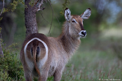 Waterbuck cow (leendert3) Tags: leonmolenaar wildlife nature southafrica krugernationalpark waterbuck mammals ngc npc coth5