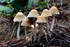 Psathyrella (Bernard Spragg) Tags: psathyrella macro fungi nature lumix mushrooms naturelover