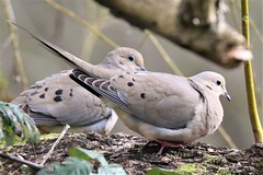 Zenaida macroura Mourning Dove (David A. Hofmann) Tags: bird sonomacounty santarosacreektrail deltapond willowsideroad california zenaidamacroura mourningdove