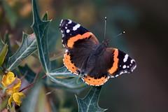 Red admiral (jim_mcculloch) Tags: d8521882 butterflies lepidoptera