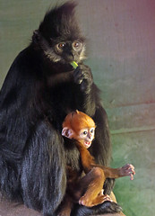francoislangur Blijdorp BB2A0783 (j.a.kok) Tags: langoer langur francoislangoer francoislangur aap animal asia azie blijdorp mammal monkey zoogdier dier primaat primate