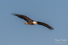 Bald Eagle makes the catch - 1 of 33