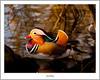 Magnicent Mandarin (flatfoot471) Tags: 2017 balloch bird duck mandarin march nature normal riverleven rural scotland spring unitedkingdom westdunbartonshire gbr