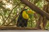 Keel-billed Toucan (www78) Tags: california parkside sanfrancisco zoo keelbilled toucan san francisco