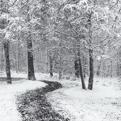 Winterscape (Tim Ravenscroft) Tags: snow winter woodland path trees snowstorm hasselblad hasselbladx1d monochrome x1d blackandwhite blackwhite