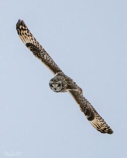 Short-Eared Owl In Flight #3