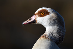 Egyptian Goose  Snettisham RSPB Norfolk (JohnMannPhoto) Tags: egyptian goose snettisham rspb norfolk