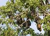 just hanging around (Jeff Mitton) Tags: fruitbat pteropusconspicillatus spectacledflyingfox cairns australia earthnaturelife wondersofnature