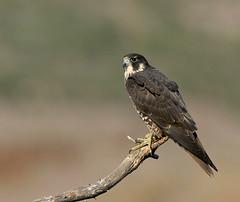 "American Peregrine Falcon (Falco peregrinus anatum) (Gregory ""Slobirdr"" Smith) Tags: americanperegrinefalconfalcoperegrinusanatum lososos sanluisobispocounty slobirdr gregoryslobirdr smith"