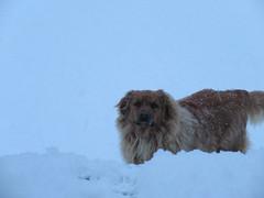 ** Zipper aime bien la neige...** (Impatience_1) Tags: zipper chien dog animaldecompagnie pet animal bête pitou canin canine neige snow impatience alittlebeauty supershot coth coth5 fantasticnature sunrays5