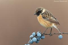 Saltimpalo (Simone Mazzoccoli) Tags: nature naturephoto wild wildlife roost stonechat bird birds outdoor winter cloudy canon background