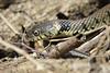 Grass Snake — Natrix natrx (Kentish Plumber) Tags: grasssnake natrixnatrix snake watersnake reptile nature wildlife nbw uk basking kentishplumber photography photos images